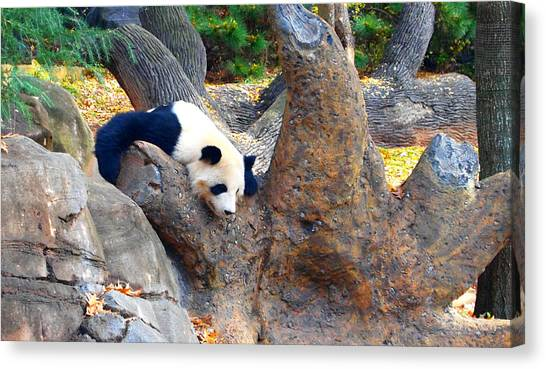 Sleeping Giant Canvas Print - Giant Panda Nap by Dan Sproul