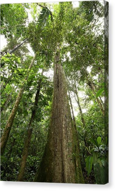 Ecuadorian Canvas Print - Giant Rainforest Tree by Dr Morley Read