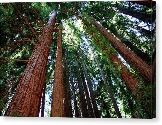 Redwood Forest Canvas Print - Giant Redwood Trees by Tony Craddock/science Photo Library