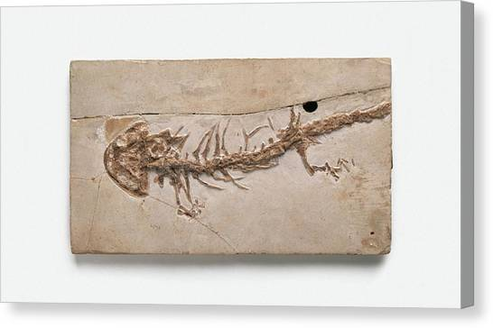 Salamanders Canvas Print - Giant Salamander Fossil by Dorling Kindersley/uig