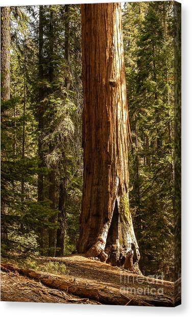 Giant Sequoia  1-7834 Canvas Print
