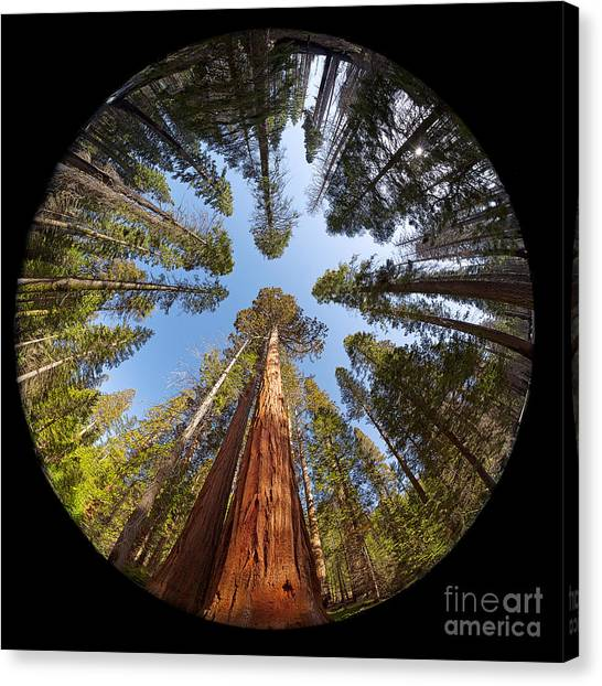 Redwood Forest Canvas Print - Giant Sequoia Fisheye by Jane Rix