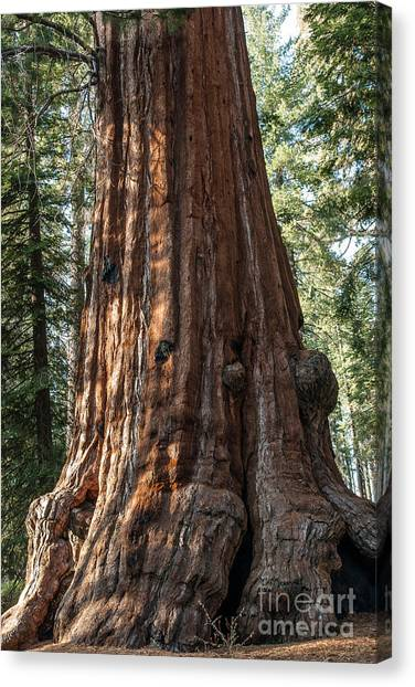 Giant Sequoia Canvas Print