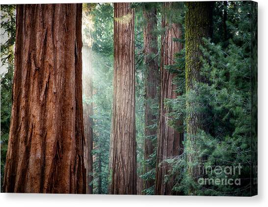 Giant Sequoias In Early Morning Light Canvas Print