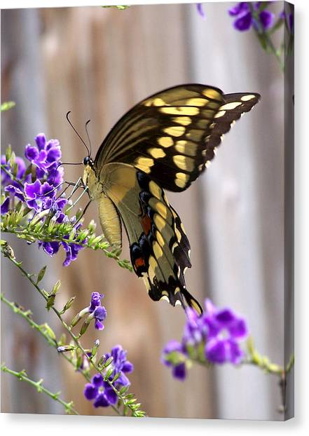 Giant Swallowtail On Goldendewdrop 1 Canvas Print