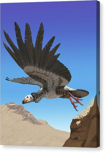 Condors Canvas Print - Giant Teratorn by Jaime Chirinos/science Photo Library