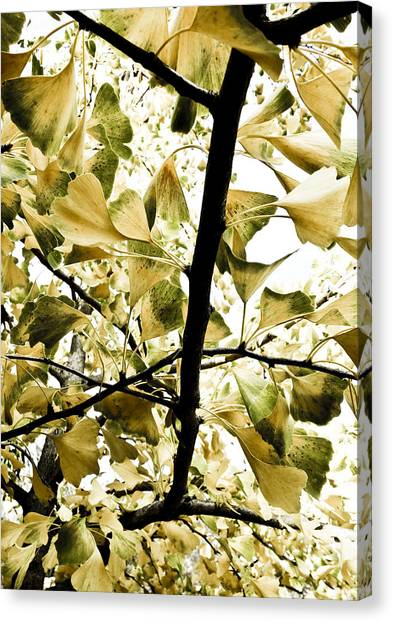 Ginkgo Leaves Canvas Print by Frank Tschakert