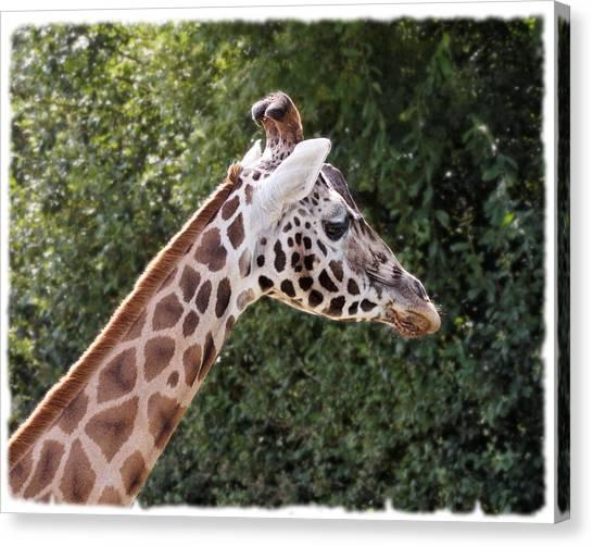 Giraffe 01 Canvas Print