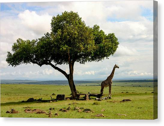 Giraffe And The Lonely Tree  Canvas Print