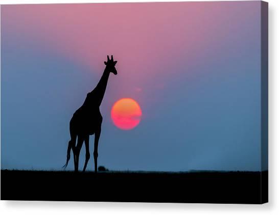 Andrew Canvas Print - Giraffe At Sunset Chobe Np Botswana by Andrew Schoeman