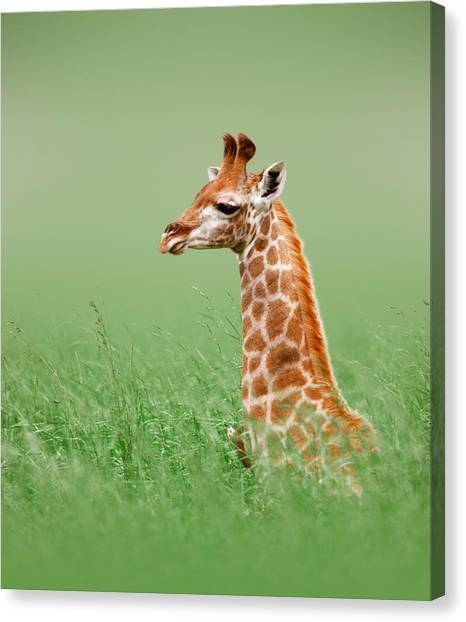 Tall Canvas Print - Giraffe Lying In Grass by Johan Swanepoel