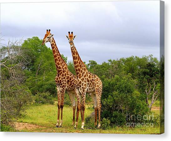 Giraffe Males Before The Storm Canvas Print