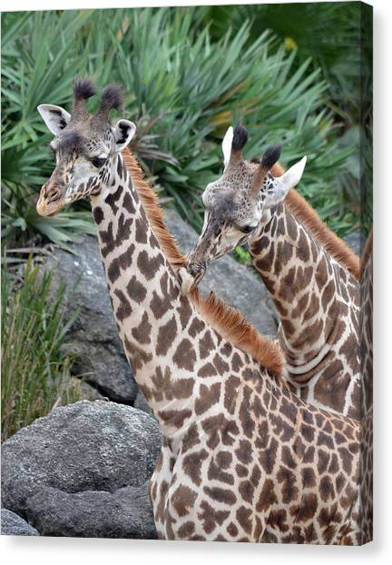 Giraffe Massage Canvas Print