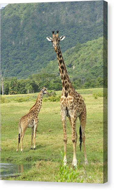 Animal Behaviour Canvas Print - Giraffe Mother And Calftanzania by Thomas Marent