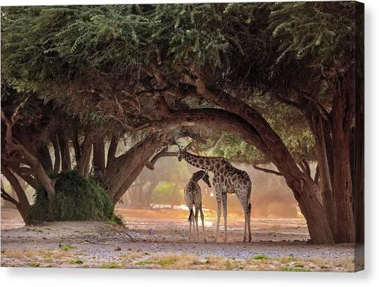 Giraffe - Namibia Canvas Print by Giuseppe D\\\'amico