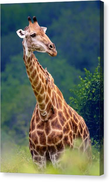 Shoulders Canvas Print - Giraffe Portrait Closeup by Johan Swanepoel