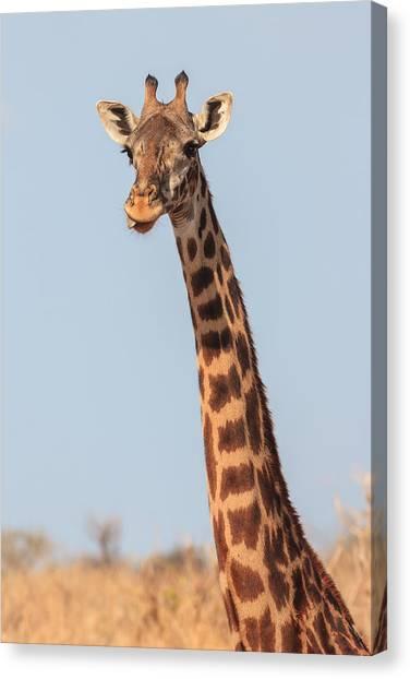 Giraffes Canvas Print - Giraffe Tongue by Adam Romanowicz
