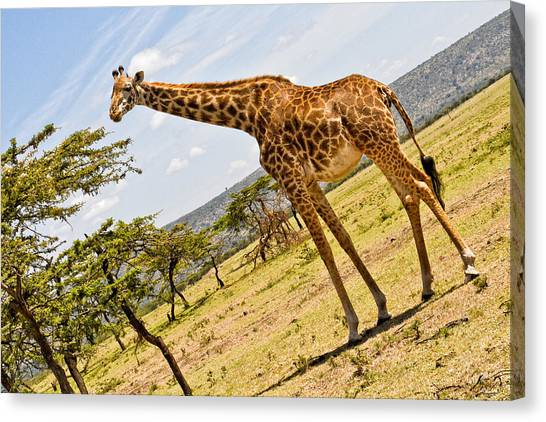 Canvas Print featuring the photograph Giraffe Walking To Their Tree by Perla Copernik