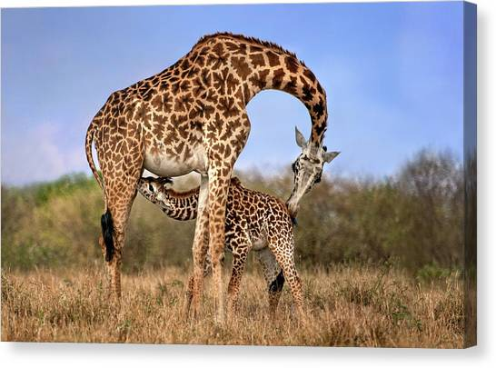 Neck Canvas Print - Giraffe With Cup by Xavier Ortega