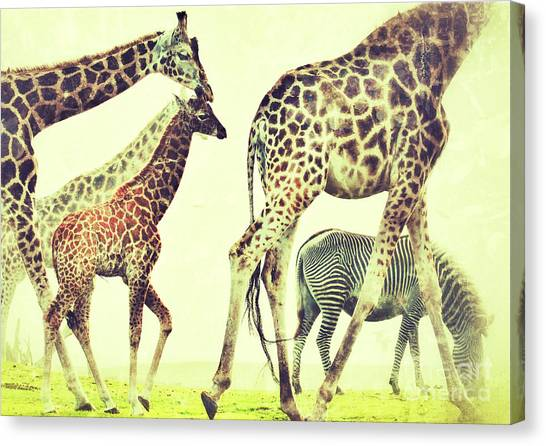 Giraffes And A Zebra In The Mist Canvas Print