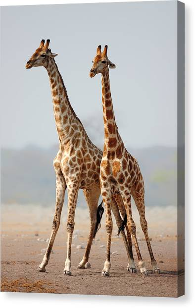 Giraffes Canvas Print - Giraffes Standing Together by Johan Swanepoel