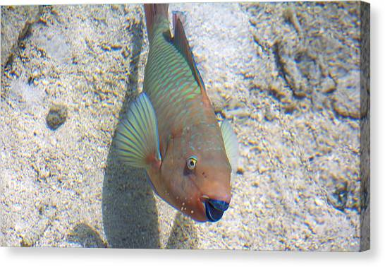 Parrot Fish Canvas Print - Give Me A Kiss by Kenneth Albin
