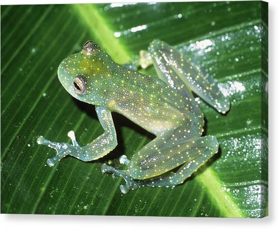 Amazon Rainforest Canvas Print - Glass Frog by Dr Morley Read/science Photo Library