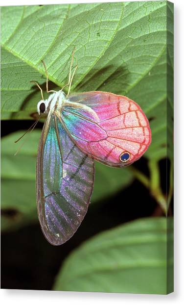 Glasswing Butterfly Photograph By Dr Morley Read