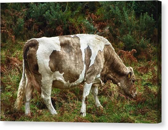 Glendalough Cattle 1 Canvas Print
