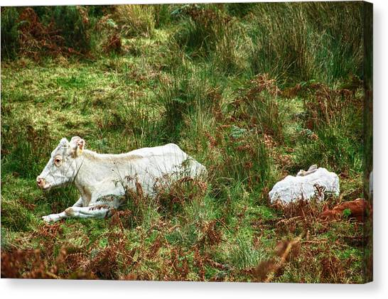 Canvas Print featuring the photograph Glendalough Cattle 2 by Trever Miller
