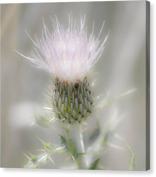 Glimmering Thistle Canvas Print