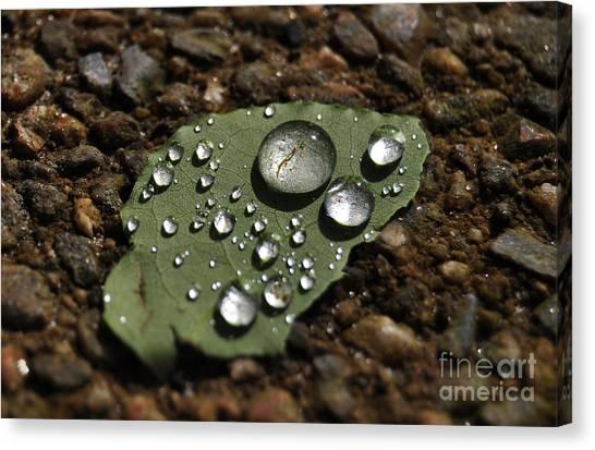 Glistening Raindrops Canvas Print