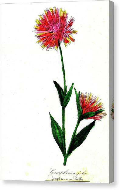 Globe Amaranth Canvas Print by Collection Abecasis/science Photo Library