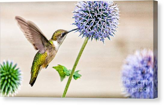 Globe Thistle Hummer Canvas Print
