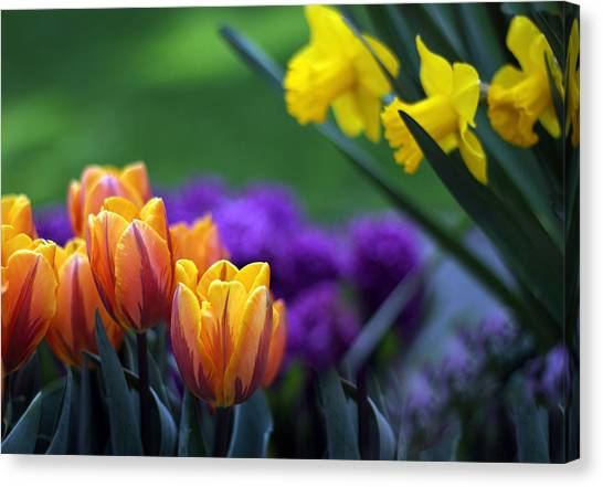 Daffodils Canvas Print - Glorious Garden by Jessica Jenney