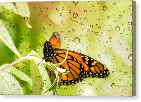 Glorious Monarch 3 Canvas Print