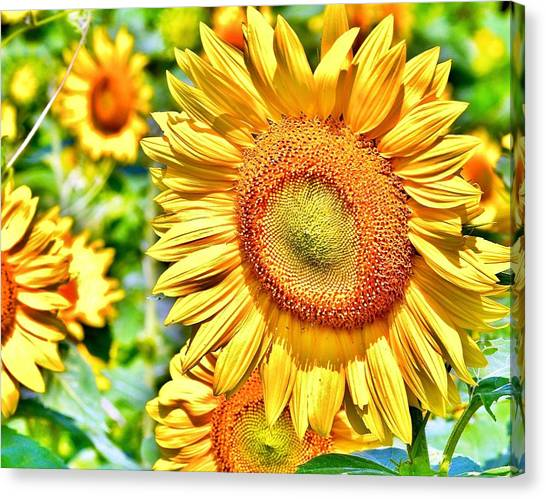 Glorious Sunflowers Canvas Print