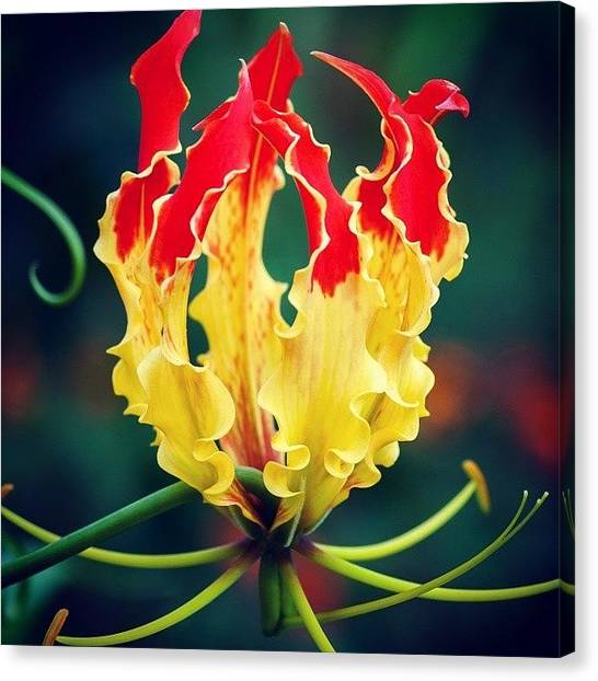 Lily Canvas Print - Glory Lily by Hitendra SINKAR