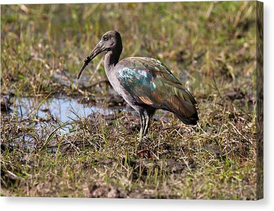 Ibis Canvas Print - Glossy Ibis by Steve Allen/science Photo Library