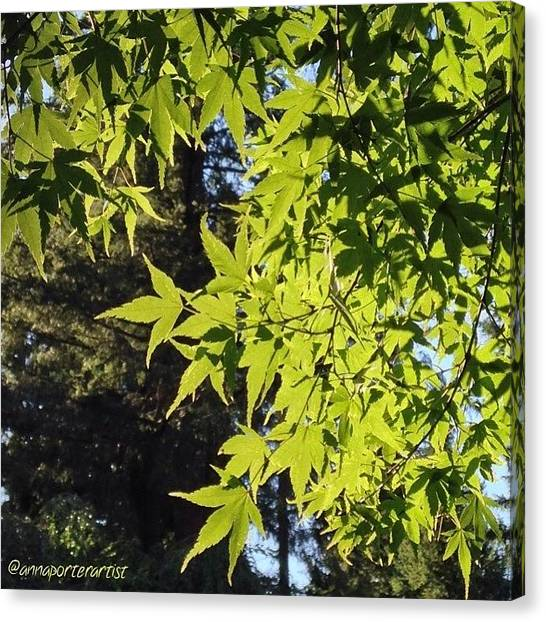 Sunny Canvas Print - Glowing Greens My Favorite Maple Tree by Anna Porter