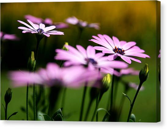 Glowing In The Sun Canvas Print by Kim Lagerhem