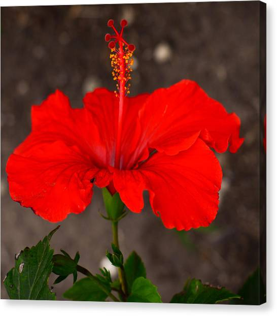 Glowing Red Hibiscus Canvas Print