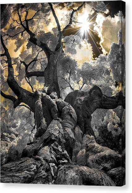 Gnarled Maple Canvas Print