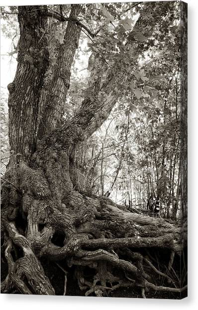 Gnarled Tree Canvas Print