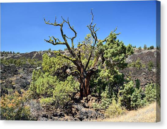 Gnarled Tree On The Lava Beds Canvas Print by Rich Rauenzahn