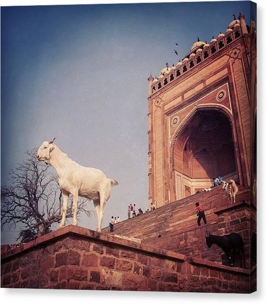 Goats Canvas Print - Goat At Fatehpur Sikri by Hitendra SINKAR
