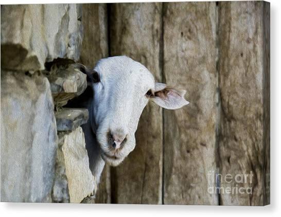 Goat Looking Oleo Canvas Print