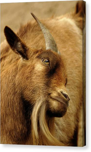 Goat Canvas Print by Maria Mosolova/science Photo Library