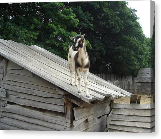 Goat On The Roof Canvas Print