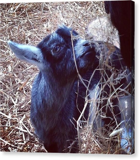 Goats Canvas Print - #goatlove #goat #tagstagram.com #love by Alan Gould